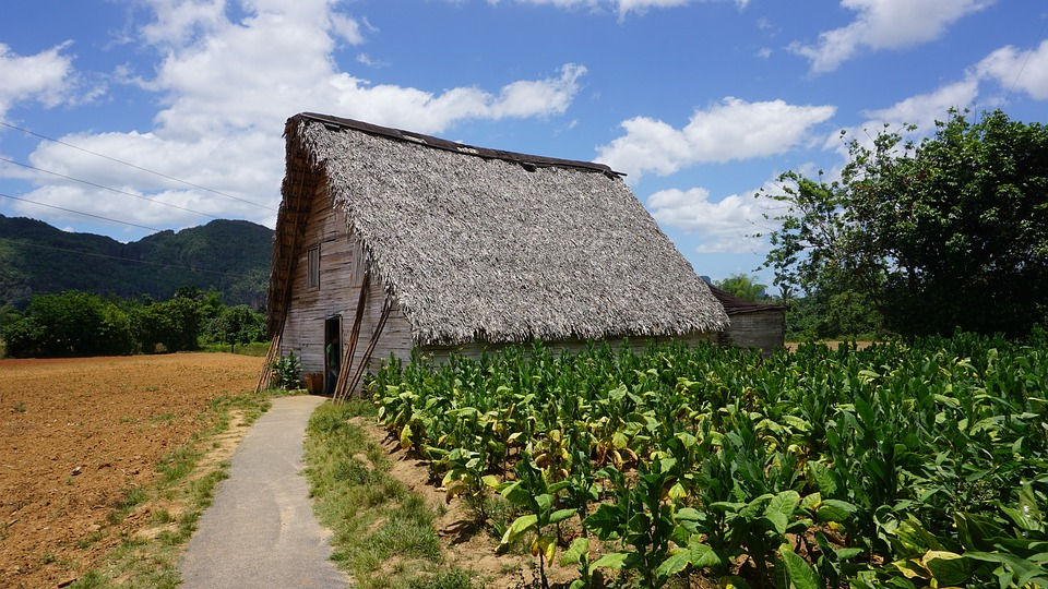 Tobacco Cultivation and Harvesting